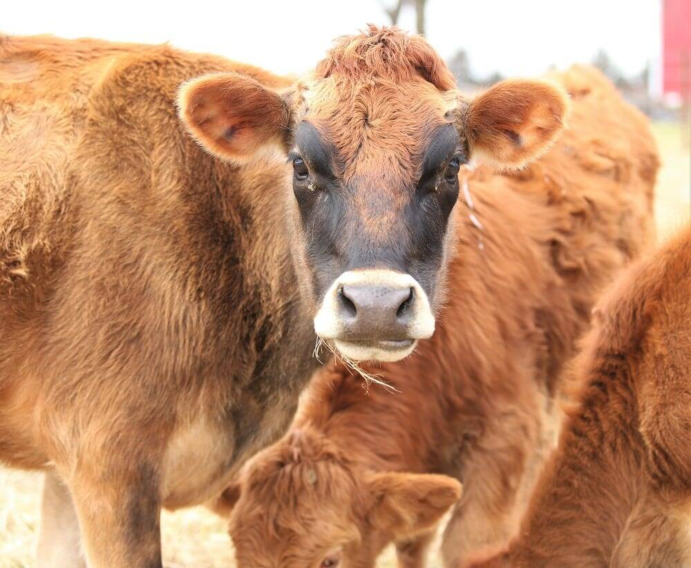 eight things to consider before buying a cow