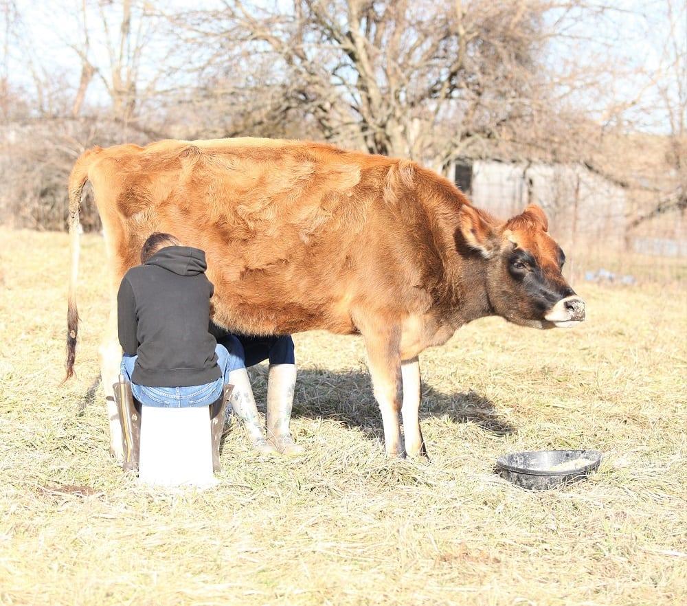 a jersey milk cow
