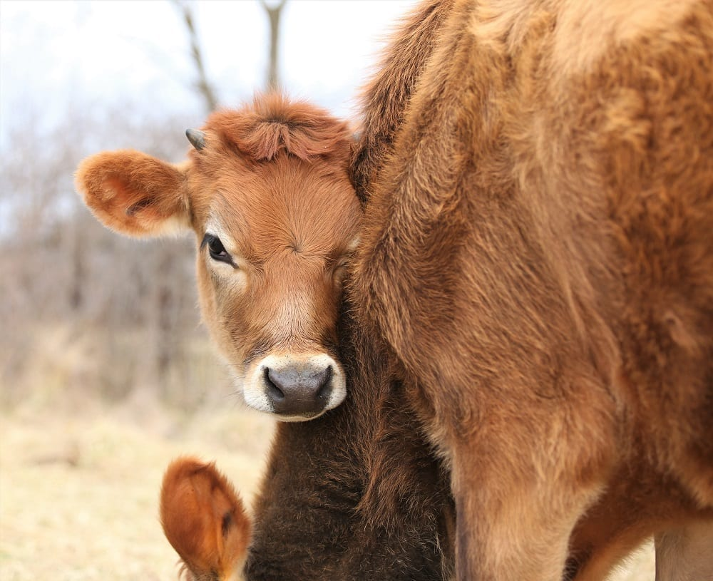 Calf and milk cow