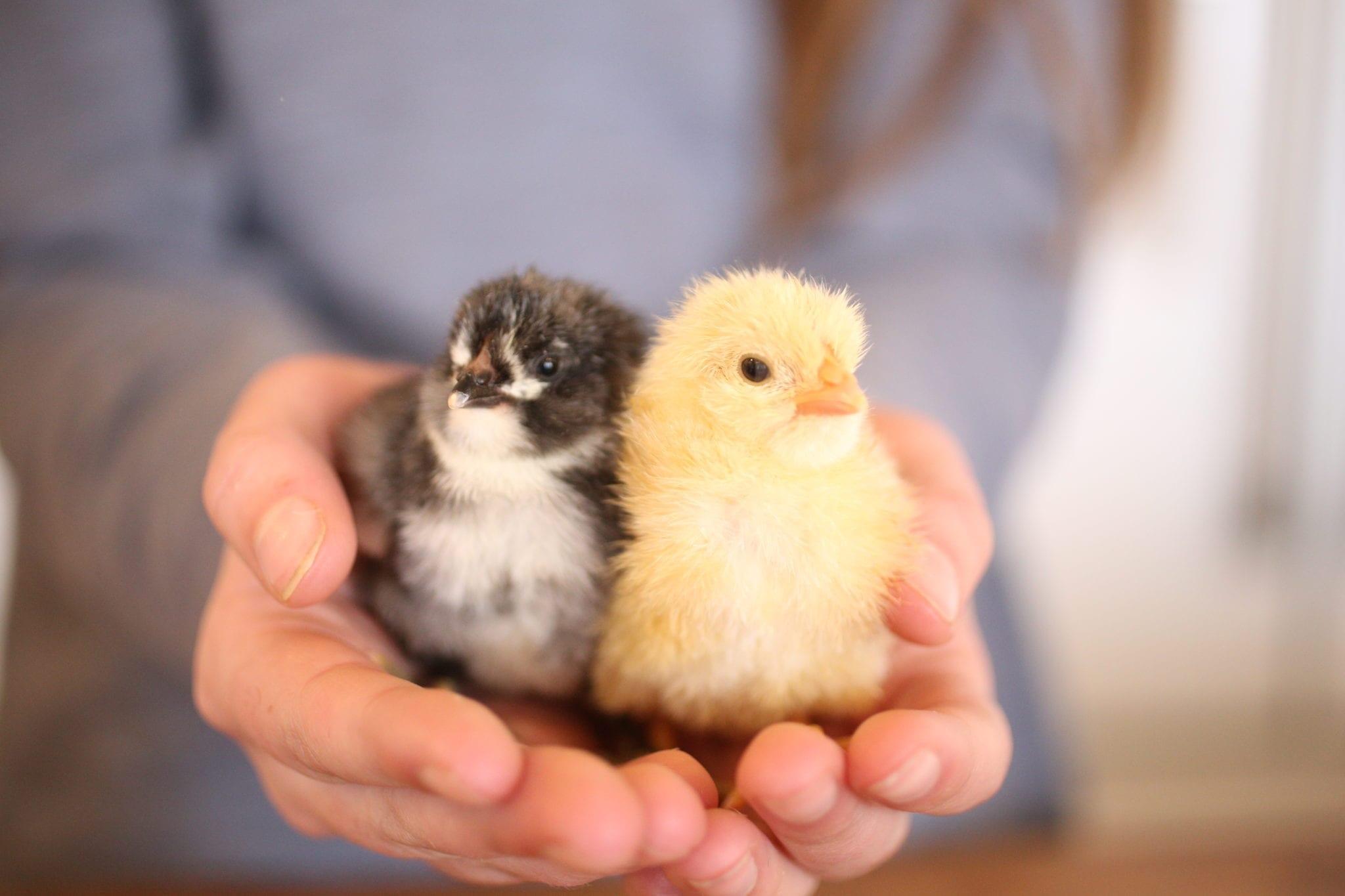 baby chicks homestead