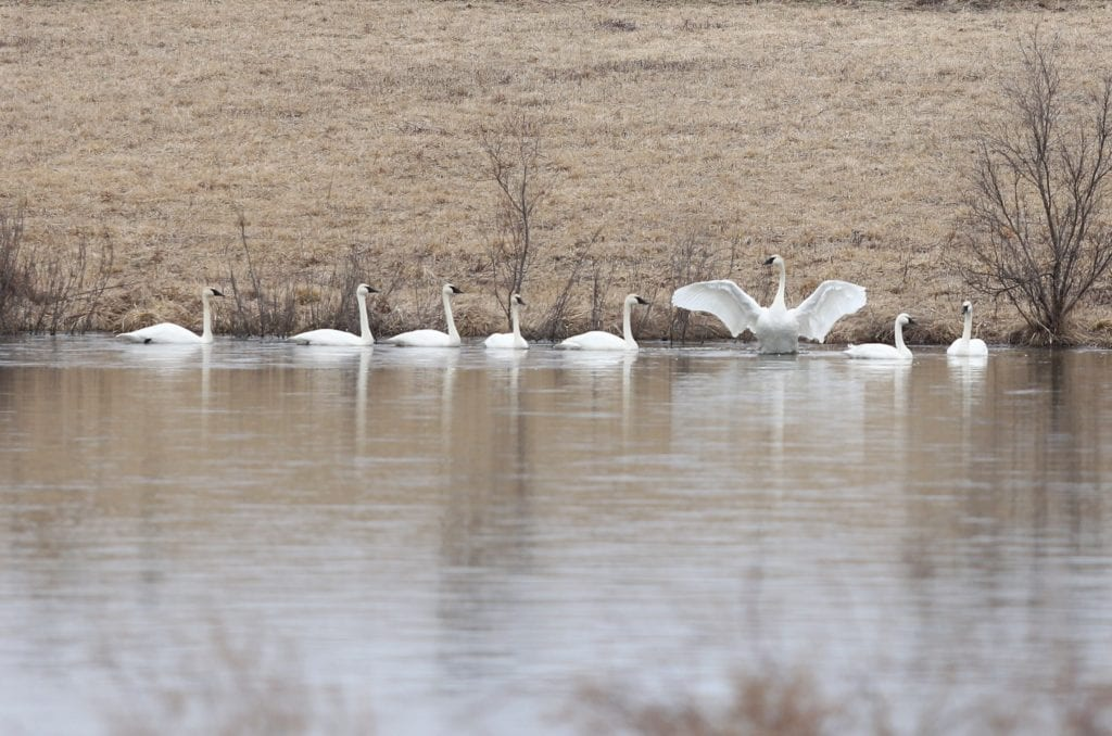 wing swans content