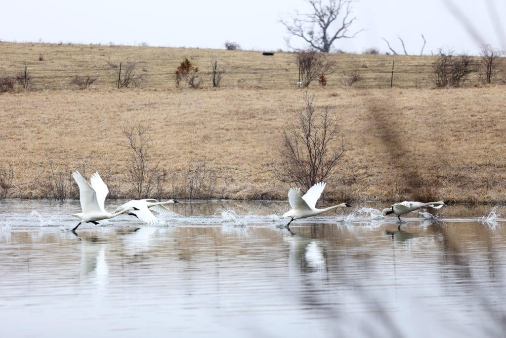 trumpeter swans contentment versus complacency