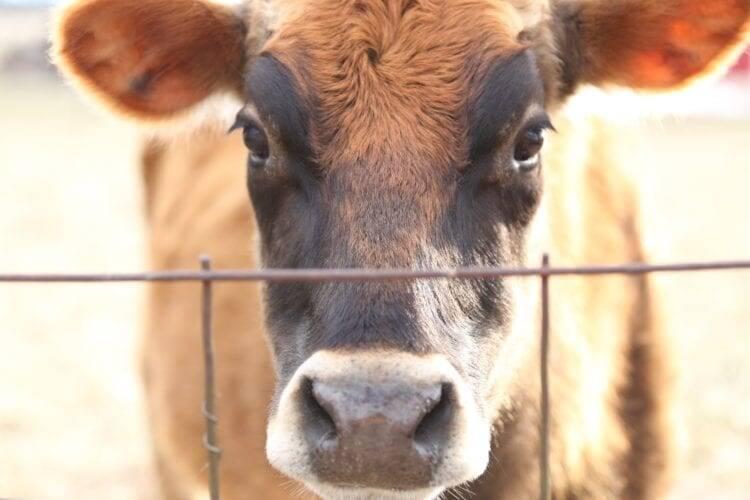 milk cow homestead