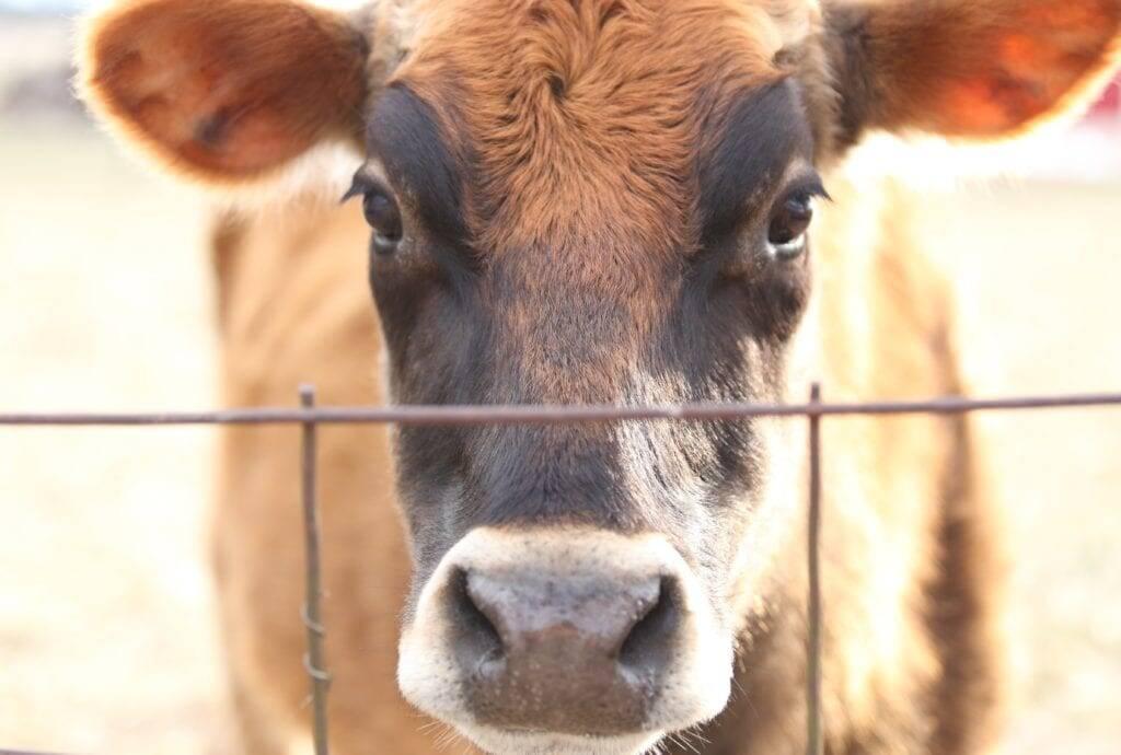 milk cow contet homestead