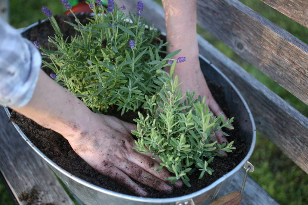 gently planting lavender