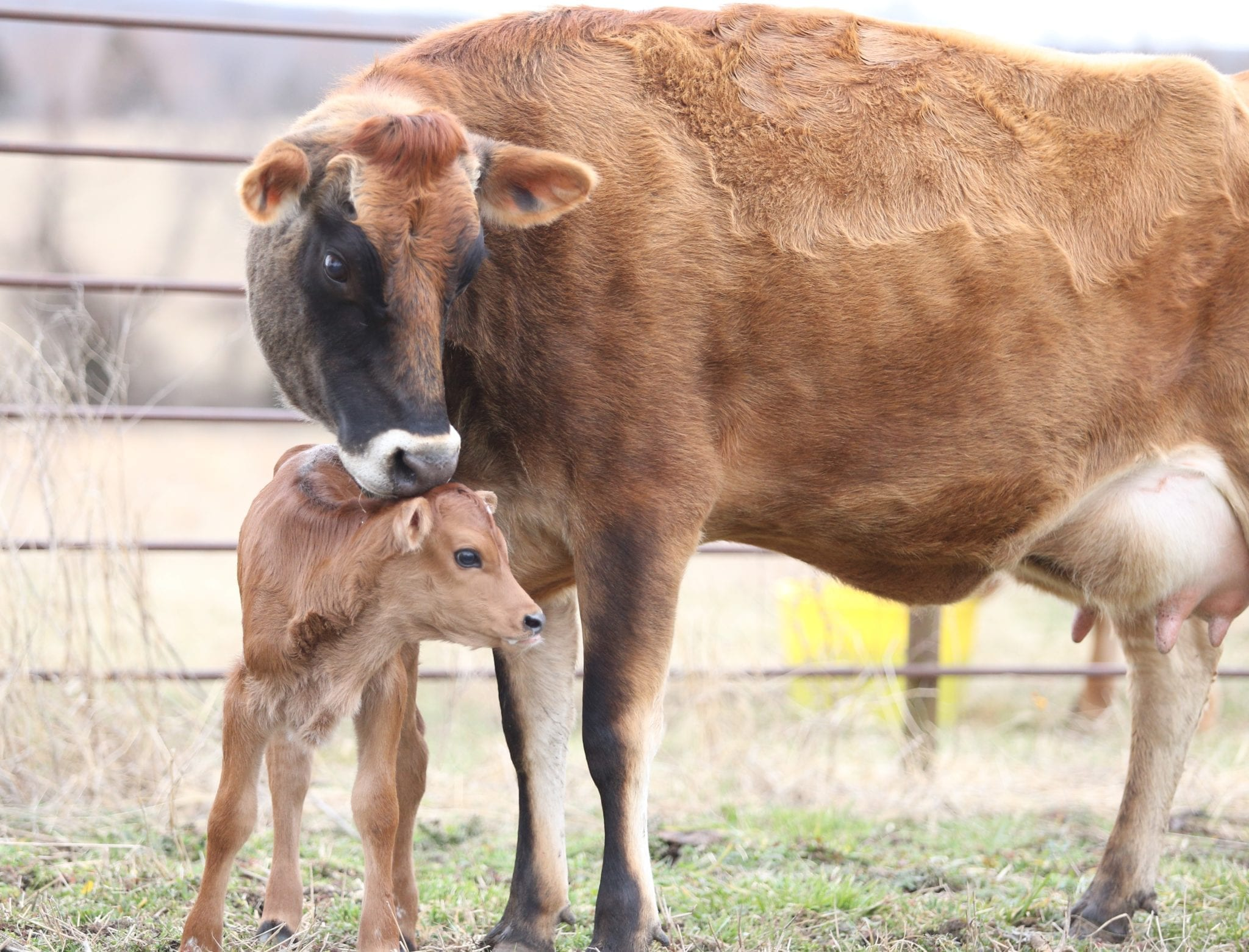 Another New Life!  Caring for a Cow and a New Calf After Birth.