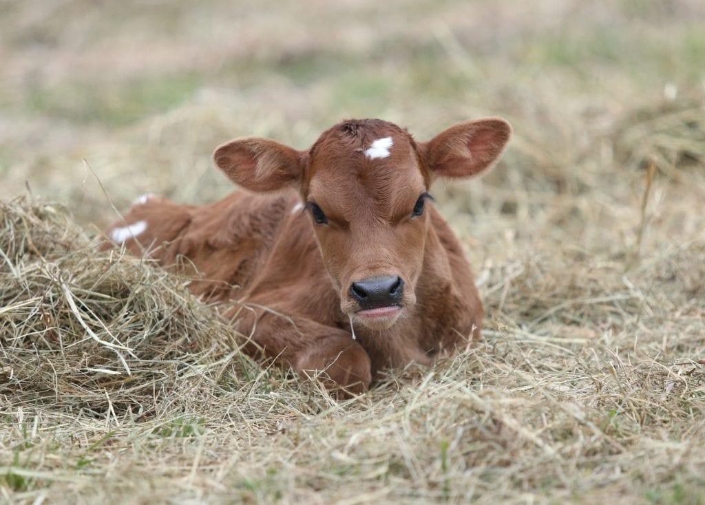new baby calf