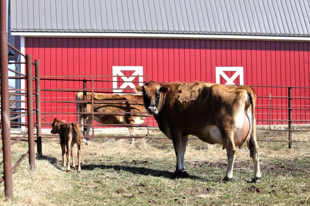 Penelope and new calf huge udder