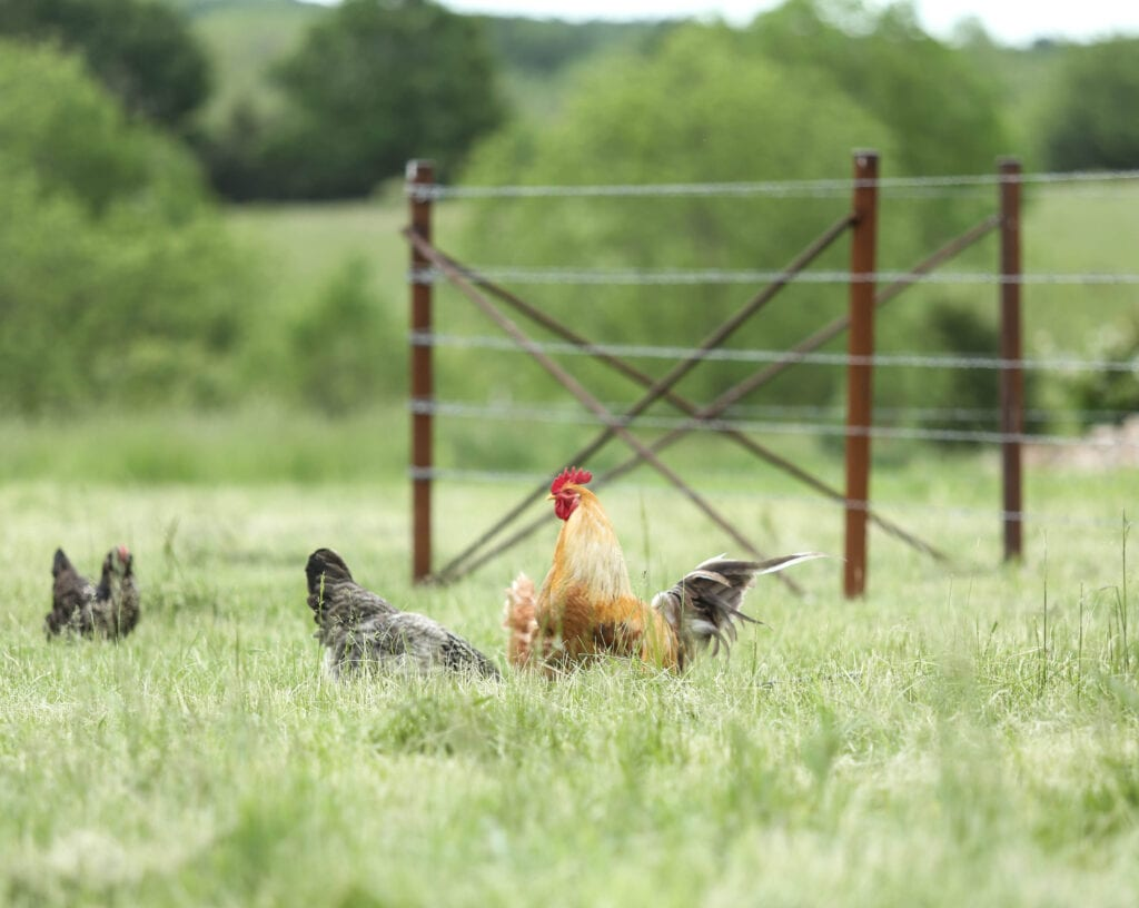 rooster farm tour