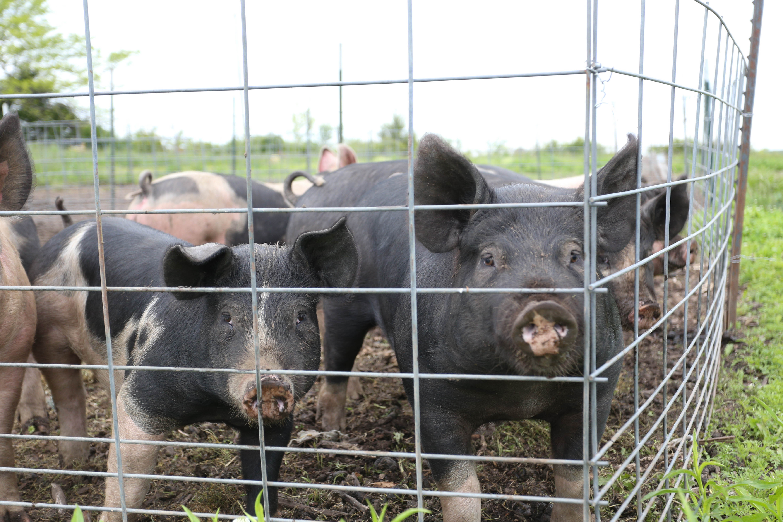 pigs in a pen