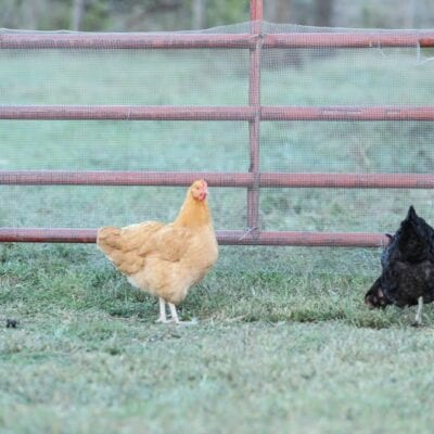 Raising Pastured Meat Chickens–How We Do It