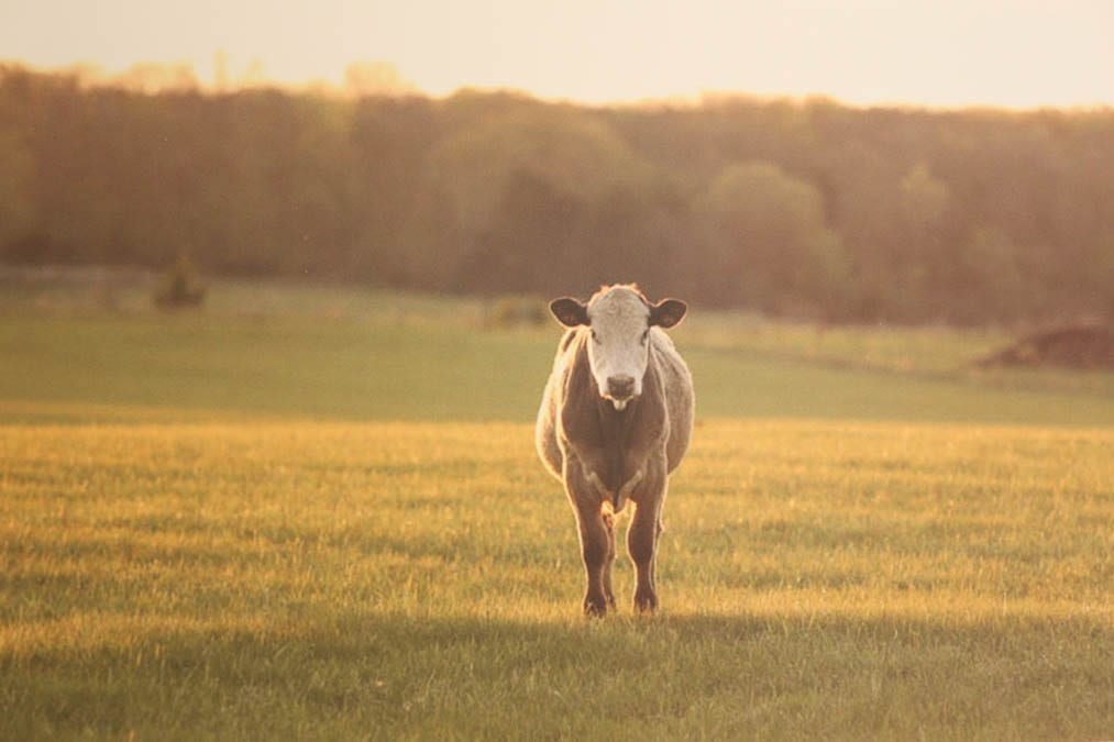diy photography wall art cow