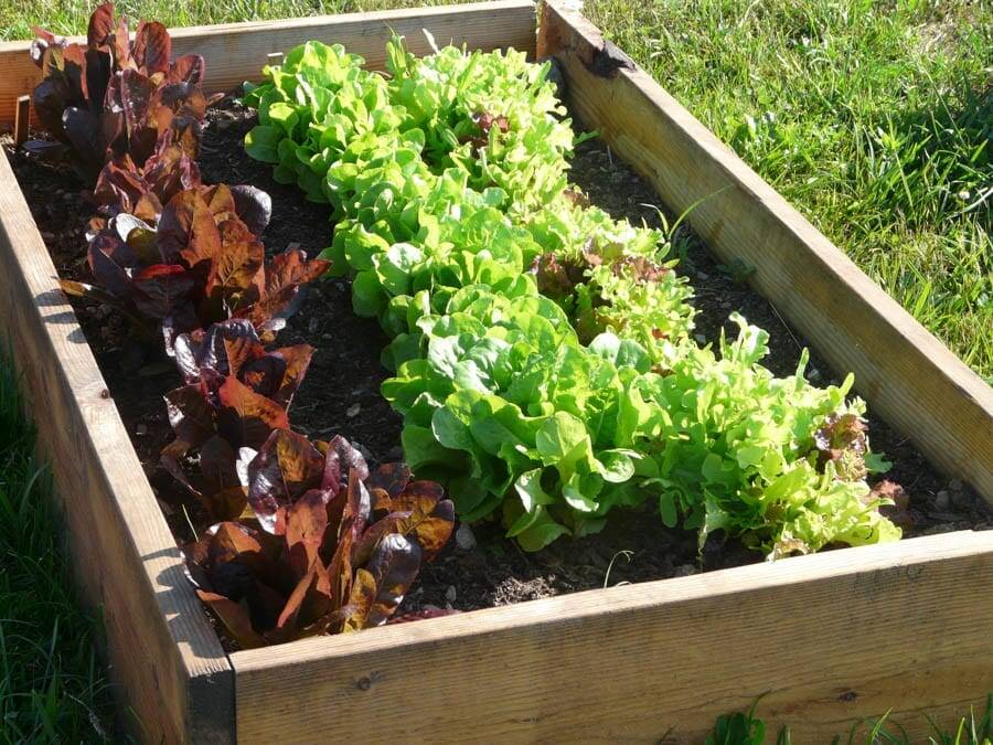 lettuce raised bed garden